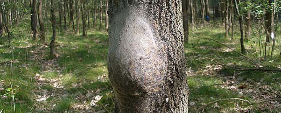 Oak Processionary Moths, OPM Caterpillar nest